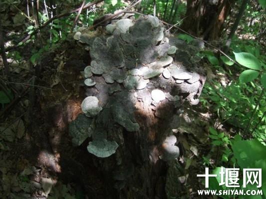 老树上长得木耳.jpg