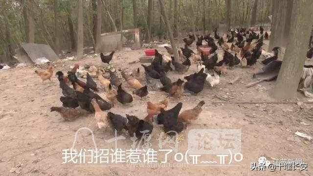 教唆金毛偷鸡300多只!网友:狗是真聪明-3.jpg
