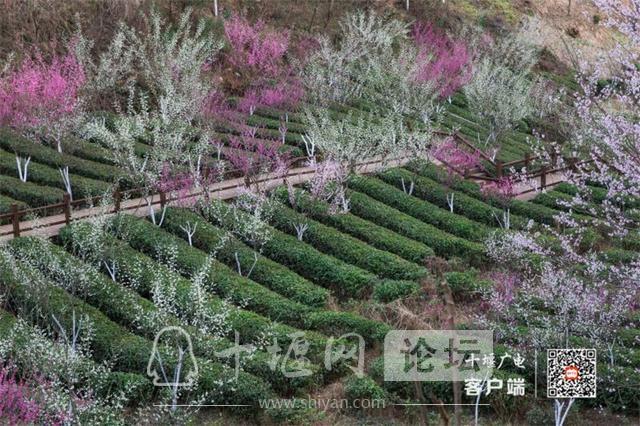 春暖花开看十堰|茅箭东沟,花开正艳-8.jpg