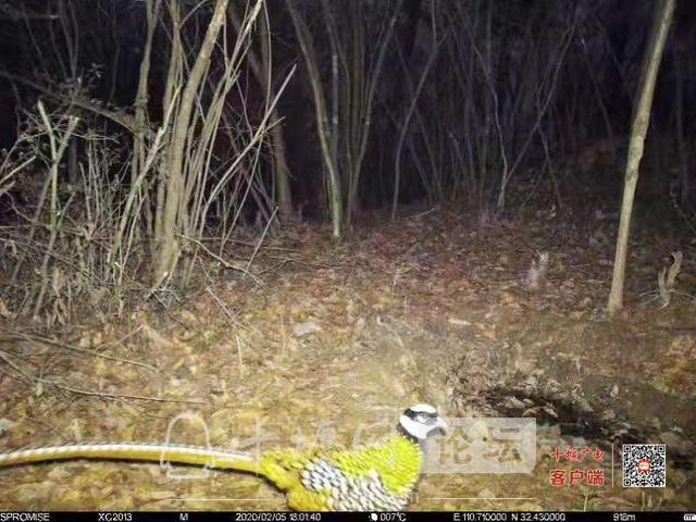 湖北十堰 国家一级保护动物现身赛武当国家级自然保护区-1.jpg