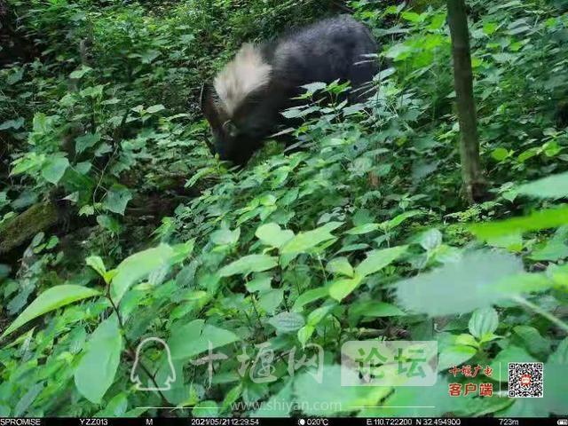 湖北十堰 国家一级保护动物现身赛武当国家级自然保护区-2.jpg