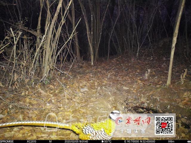 """拍到了!这种""""胆小""""的国家一级保护动物首次现身十堰-1.jpg"""