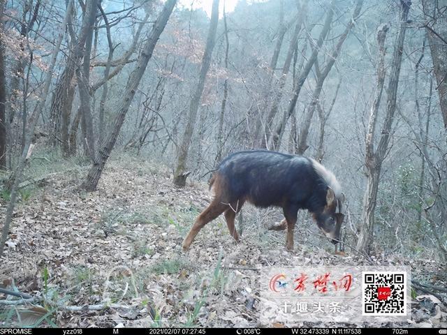 """拍到了!这种""""胆小""""的国家一级保护动物首次现身十堰-2.jpg"""