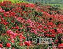 玫瑰花海!丹江口这里藏着人间仙境,简直美炸了