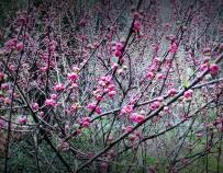 公园里的小桃红