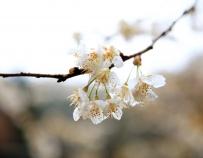 樱桃花自开