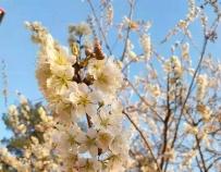 十堰樱桃花啦!未来一周,这些地方迎赏樱最佳时机