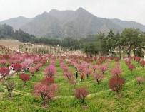 秦巴植物王国赏梅