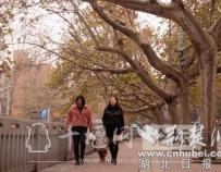 湖北十堰:最美梧桐景色迷人